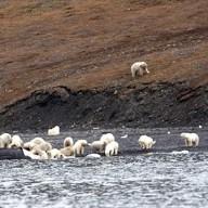 Rassemblement d'ours polaires