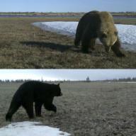 Ours bruns et noirs au pays de l'ours polaire