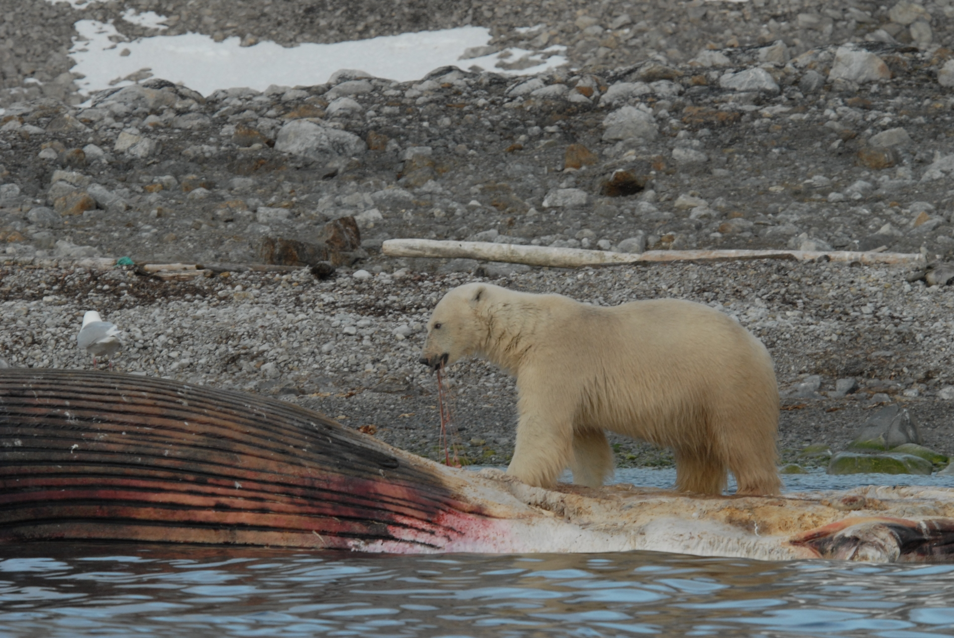 Le monde de l 39 ours polaire alimentation for Alimentation chien maison