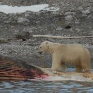 Du mercure dans le cerveau des ours polaires