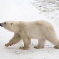 Le Canada et l'ours polaire