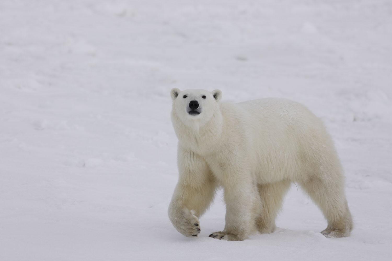 Préférence Le monde de l'ours polaire » L'ours polaire OO31