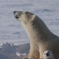 L'ours blanc, nouvelle manne du Nord