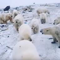 Invasion d'ours polaires en Nouvelle-Zemble