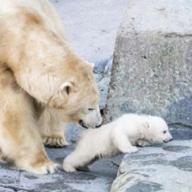 Oursons polaires dans les zoos