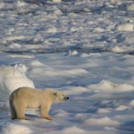 Ours polaire et banquise : un même destin